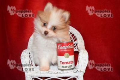 Pomeranian PUPPY FOR SALE ADN-80830 - TOY AKC  FULL REGISTRATION