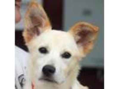 Adopt Maxwell a Tan/Yellow/Fawn Border Collie / German Shepherd Dog / Mixed dog