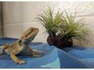 Adopt Tabasco a Bearded Dragon