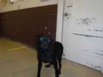 Adopt KARLIA a Black Labrador Retriever / Mixed dog in Sanford, FL (25849329)