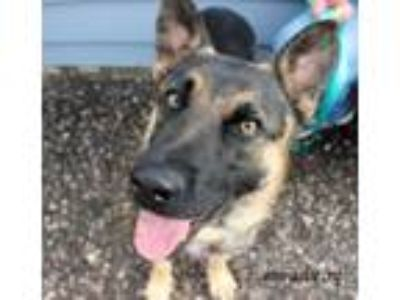 Adopt Tonka a German Shepherd Dog, Corgi