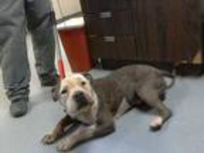 Adopt 41708969 a Brindle American Pit Bull Terrier / Mixed dog in Los Lunas