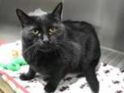 Adopt Jemma a Domestic Short Hair