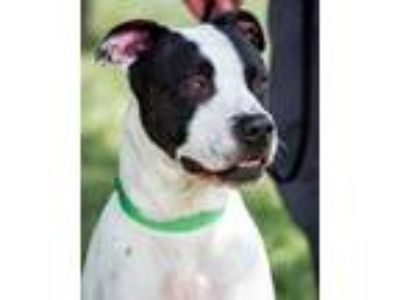 Adopt Drogo a Black American Pit Bull Terrier / Mixed dog in Novelty