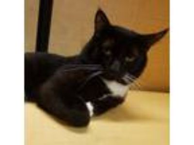 Adopt Boots a All Black Domestic Shorthair / Domestic Shorthair / Mixed cat in