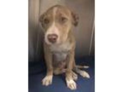 Adopt Dobby a Pit Bull Terrier, Mixed Breed