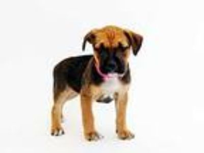 Adopt ROXY a Black - with Tan, Yellow or Fawn Boxer / Beagle / Mixed dog in St.
