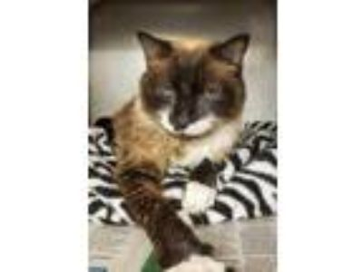 Adopt Sassyfrass a Brown or Chocolate Siamese / Domestic Shorthair / Mixed cat