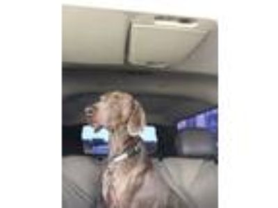 Adopt Noah a Gray/Silver/Salt & Pepper - with White Weimaraner / Mixed dog in