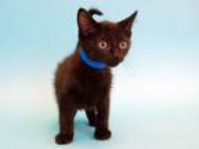 Adopt PAN a Domestic Medium Hair