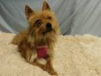 Adopt Sissy-Siloam Springs a Yorkshire Terrier, Silky Terrier