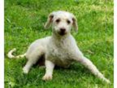 Adopt Amber a White - with Tan, Yellow or Fawn Miniature Poodle / Mixed dog in