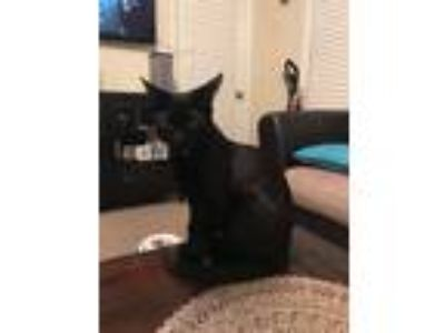 Adopt Bugs a All Black Domestic Shorthair cat in Jacksonville, FL (24946323)