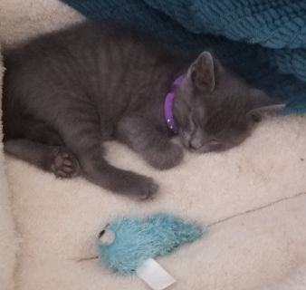 Purebred Russian Blue Hypoallergenic kitten. 9 weeks old ready to go.