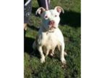 Adopt Starr a Staffordshire Bull Terrier