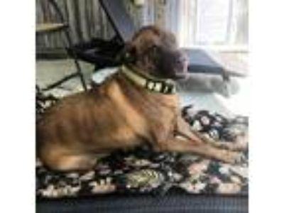 Adopt Oakley a Brindle American Pit Bull Terrier / Labrador Retriever / Mixed