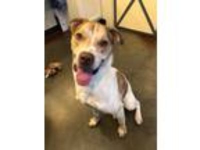 Adopt Hancock a Hound (Unknown Type) / American Pit Bull Terrier / Mixed dog in