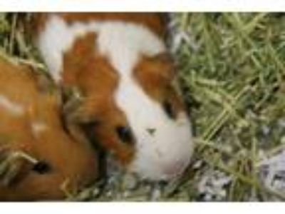 Adopt Goldie a White Guinea Pig / Guinea Pig / Mixed small animal in Daytona