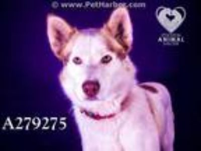 Adopt CHEYENNE a White - with Red, Golden, Orange or Chestnut Husky / Mixed dog