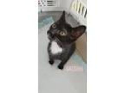 Adopt Satsuki a Domestic Short Hair