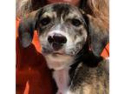 Adopt Barbeque *Available Thursday 6/13 a Brindle Mixed Breed (Large) / Mixed