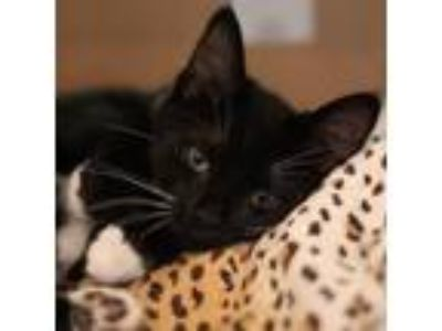 Adopt Ricotta a All Black Domestic Shorthair / Domestic Shorthair / Mixed cat in