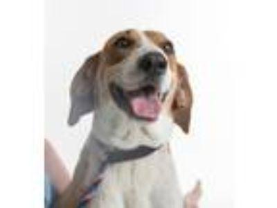 Adopt ROSEY a Hound, Coonhound