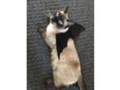 Adopt Manki a Brown or Chocolate Siamese cat in San Bernardino, CA (24847170)