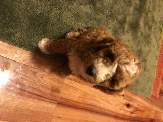 Poodle (Miniature) PUPPY FOR SALE ADN-80748 - Graff