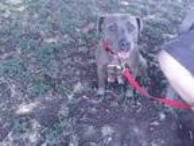 Adopt *MARG a Gray/Silver/Salt & Pepper - with White American Pit Bull Terrier /