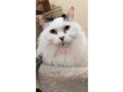 Adopt Molly a White Domestic Longhair / Domestic Shorthair / Mixed cat in