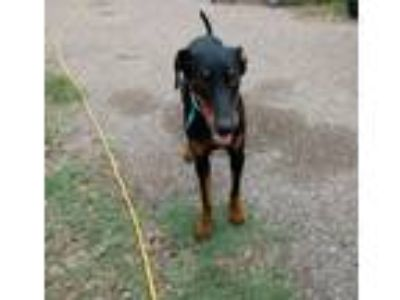 Adopt Tucker a Doberman Pinscher