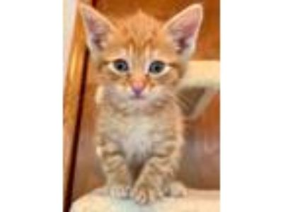 Adopt Blaze KITTEN SHOWER ATTENDEE a Domestic Short Hair