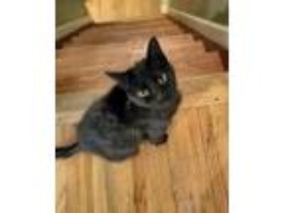 Adopt Dora a Domestic Short Hair