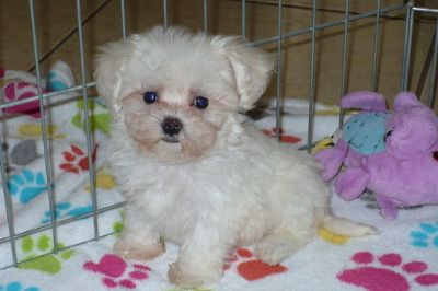 Maltese-Poodle (Toy) Mix PUPPY FOR SALE ADN-110985 - MaltiPoo Puppy TEACUP