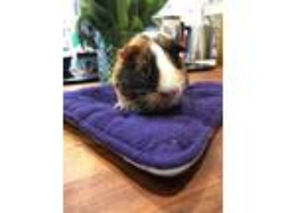 Adopt TRICKY a Calico Guinea Pig / Mixed small animal in Sacramento