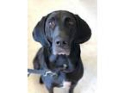 Adopt Simone a Black Bloodhound / Retriever (Unknown Type) / Mixed dog in Silver