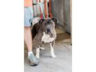 Adopt Blossom a Gray/Blue/Silver/Salt & Pepper American Pit Bull Terrier / Mixed
