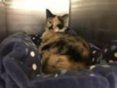 Adopt Cookie a Calico