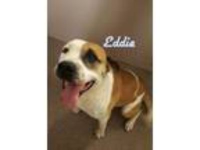 Adopt Eddie a White American Staffordshire Terrier / Mixed dog in Louisburg