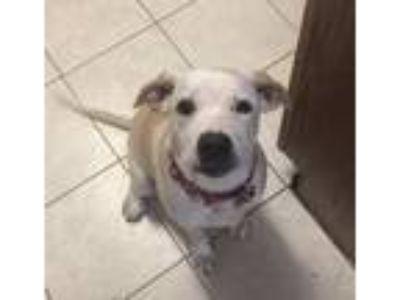 Adopt Annie a Tan/Yellow/Fawn - with White Labrador Retriever / American Pit