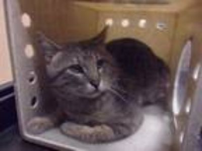 Adopt Feral Mountaintop a Gray or Blue Domestic Shorthair / Domestic Shorthair /