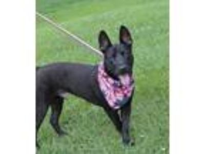 Adopt Bert (Fostered in TN) a Cattle Dog, Bull Terrier