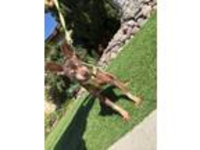 Adopt Tiny a Brown/Chocolate Miniature Pinscher / Mixed dog in San Diego