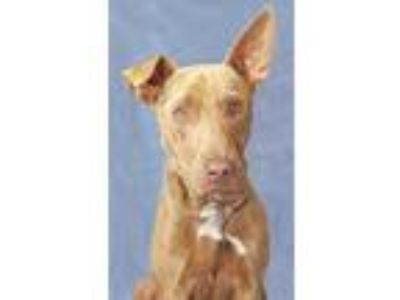 Adopt Earl a Brown/Chocolate - with White Labrador Retriever / Whippet / Mixed