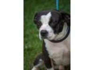 Adopt Bruno a Beagle, Boston Terrier