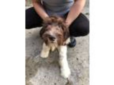 Adopt Daria a Brown/Chocolate Newfoundland / Poodle (Standard) dog in Manhattan
