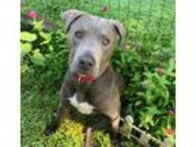 Adopt Brewster a Labrador Retriever / Pit Bull Terrier / Mixed dog in Potomac
