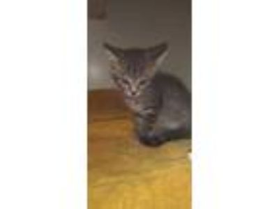 Adopt Trill a Gray or Blue Domestic Shorthair / Domestic Shorthair / Mixed cat