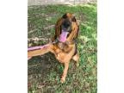 Adopt Daisy (was Morgan) a Black Bloodhound / Mixed dog in Waco, TX (25329475)